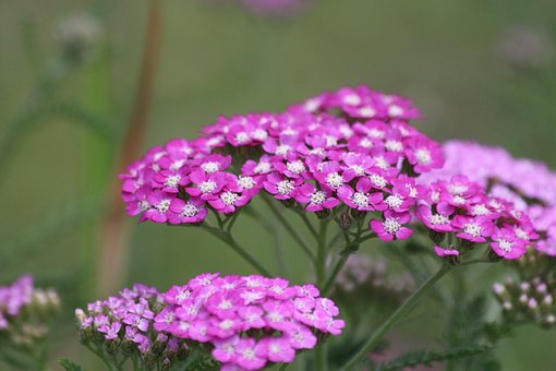 Yarrow, Achillea, Nature, Flower, Plant, Outdoors