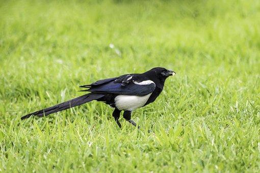 Grass, Bird, Nature, Wildlife, Animal, Eurasian Magpie