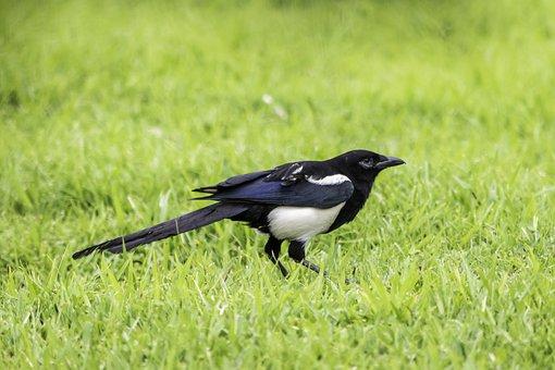 Bird, Nature, Grass, Wildlife, Animal, Eurasian Magpie