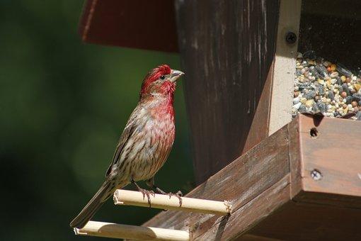 Bird, Nature, Outdoors, Wildlife, Animal, House Finch