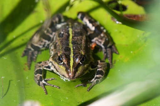 Frog, Amphibian, Nature, Animal World, Animal, Swamp