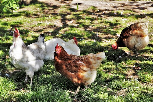 Poultry, Birds, Farm, Animals, Nature, To, Spring