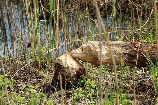 Tree, Beaver, Beavers, Pests Of Trees