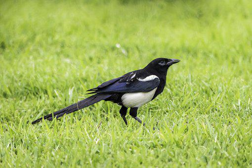 Grass, Nature, Bird, Wildlife, Outdoors, Animal