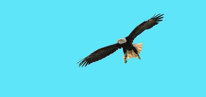 Bird, Bald Eagles, Bird Of Prey, Wing