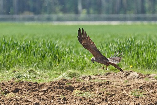 Milan, Hunt, Prey, Flight, Sky, Bird, Wing