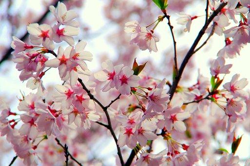 Flowers, Cherry, Branch, Plant, Wood, Co Higanzakura