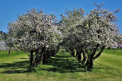 In The Garden, Spring, Tree, Cherry, Season, Branch