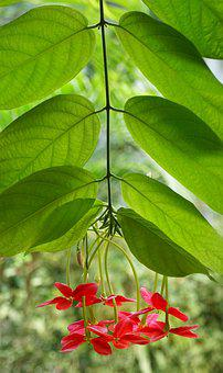 Chinese Honeysuckle, Rangoon Creeper, Red-leaf Photinia