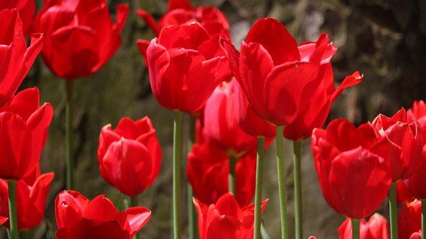 Nature, Flower, Plant, Tulip, Garden, Color, Petals