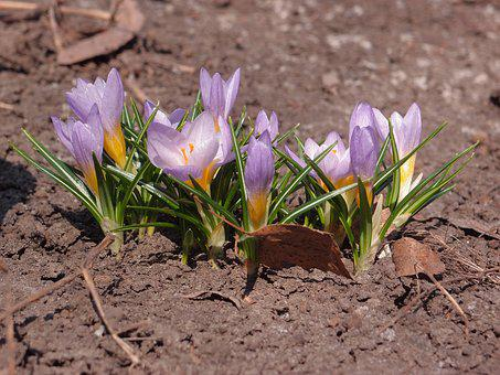 Flower, Nature, Plant, Soil, Spring, Crocus, Crocuses