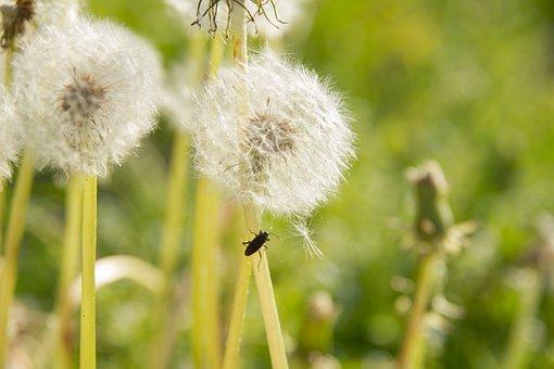 Dandelion, Dandelion Bunch, Nature, Plants, Flowers