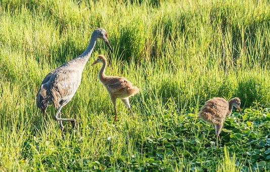 Endangered, Sand Hill Cranes, Mother, Babies, Nature