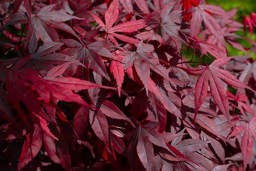 Red, Maple, Japan, Leaf, Fall, Flora, Nature, Season