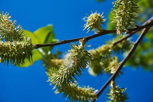 Blossom Kitten, Female, Seeds, Salix Cinerea