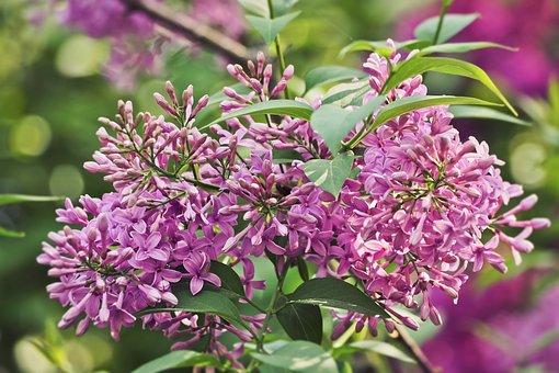 Flower, Plant, Nature, Flowers, Petal, Lilac, Floral