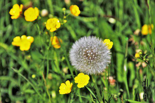 Dandelion, Grass, Green, Fluff, Your Marigolds, Nature