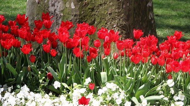 Flower, Tulip, Garden, Plant, Nature, Leaves, Blooming