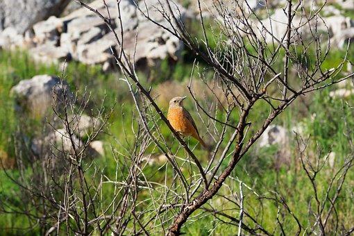 Female African Stonechat, Bird, Nature, Stonechat