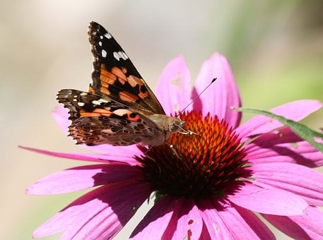 Butterfly, Insect, Nature, Flower, Outdoors, Summer