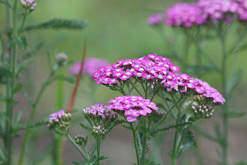 Yarrow, Achillea, Nature, Flower, Plant, Outdoors