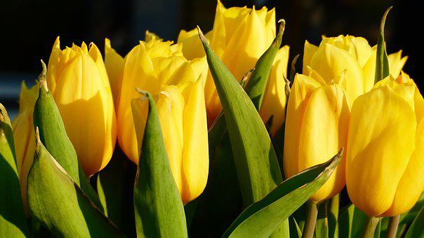 Tulip, Nature, Flower, Plant, Easter, Leaf, No Person