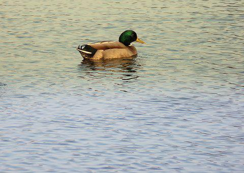 Duck, Body Of Water, Poultry, Bird, Swim, Lake