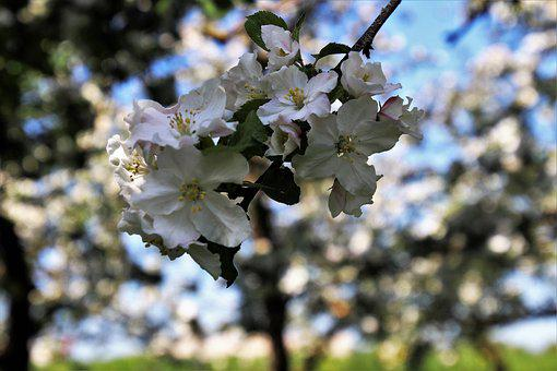 Fruit Trees, In The Morning, Sad, Blooms, Tree, Flower