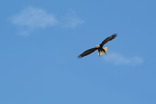 Bird, Sky, Flight, Nature, Bird Of Prey, Bald Eagles