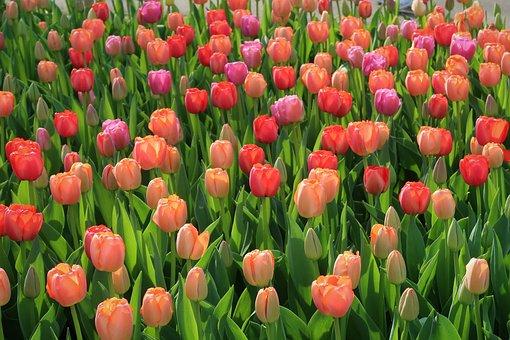 Tulip, Tulips, Keukenhof, Netherlands, Spring, Summer