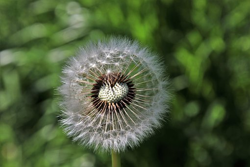 Dandelion, Spring, Nature, Plant, No One