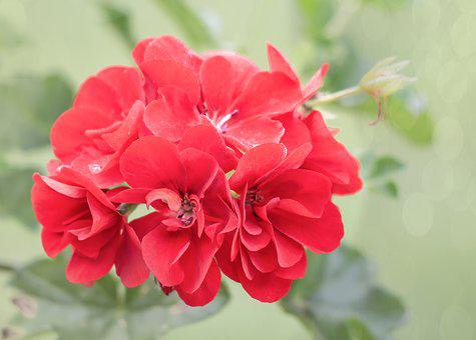 Geranium, Summer, Balcony, Flower, Nature, Plant