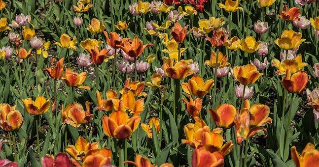 Flower, Tulip Field, Flowers, Plant, Nature, Garden