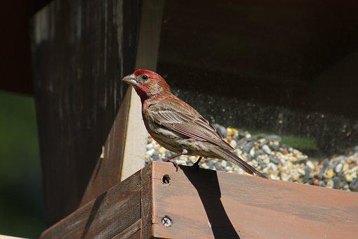 Bird, Nature, Wildlife, Outdoors, Male House Finch