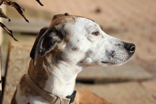 Animal, Nature, Cute, Dog, Mammal, Greyhound, Whippet