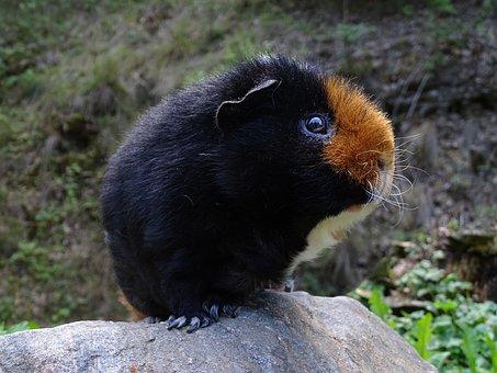 Guinea-pig, Mammal, Cute, Tricolour, Animal, Rodent