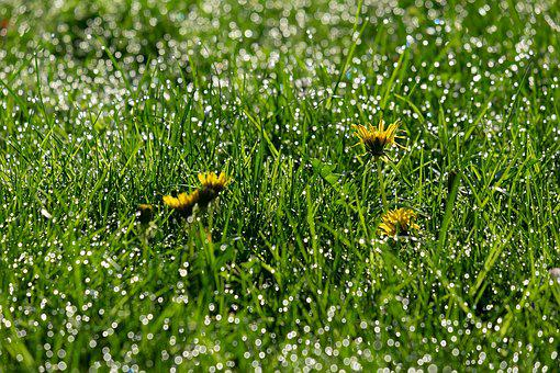 Dandelion, Backlighting, Mood, Common Dandelion