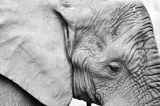 Elephant, Animal, Nature, Portrait, Black And White