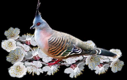 Bird, Pigeon, Blossom, Nature, Spring