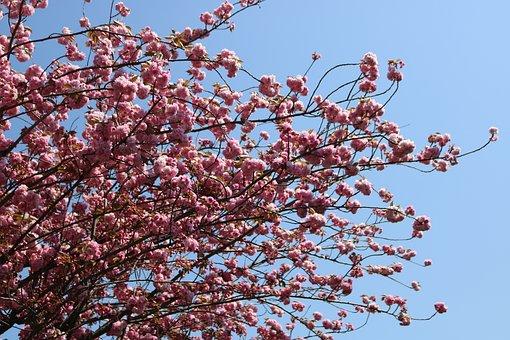 Branch, Blue Sky, Tree, Cherry, Flower, Current Season
