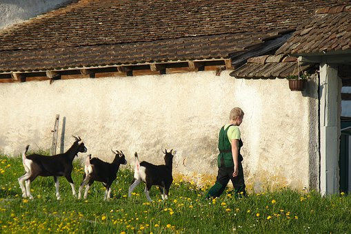 Farm, Goat, Boy, Young Goats, Switzerland