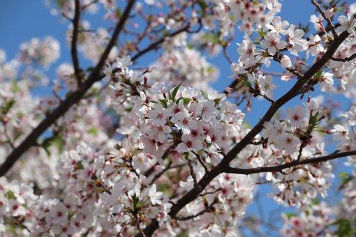 Cherry, Tree, Flower, Branch, Season, Apple, Plum
