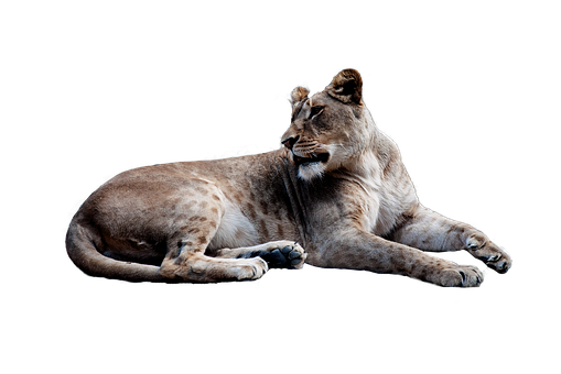 Lion, Animal, Isolated, Big Cat, Cut Out