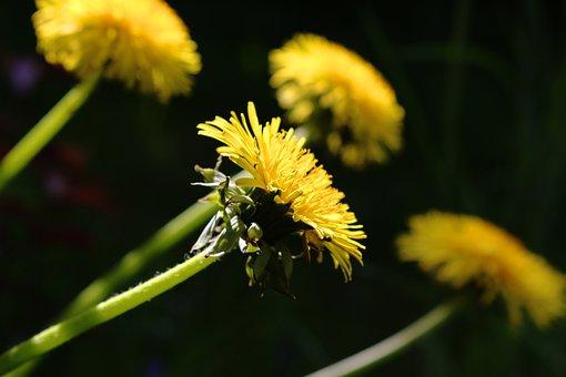 Nature, Flower, Plant, Dandelion, Summer, Close
