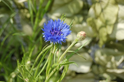 Fleur-de-lis, Nature, Flower, Summer