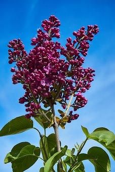 Lilac, Flowers, Purple, Spring, Fliederblueten, Plant