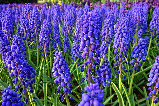 Muscari, Grape Hyacinth, Flower, Plant, Bulbous