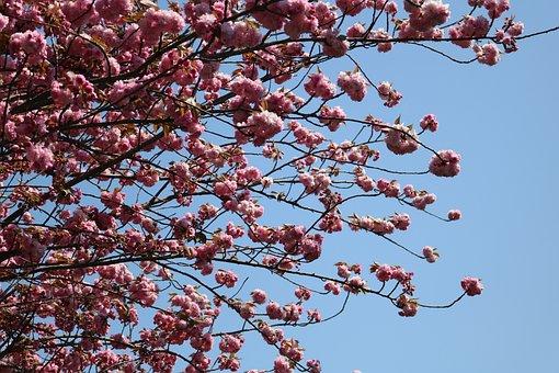 Branch, Tree, Blue Sky, Cherry, Flower, Current Season