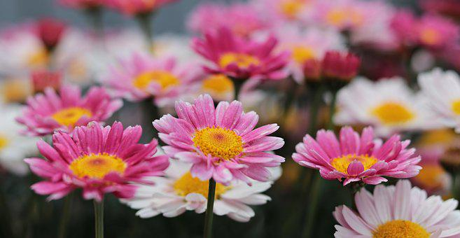 Flowers, Daisies, Nature, Plant, Floral, Colorful