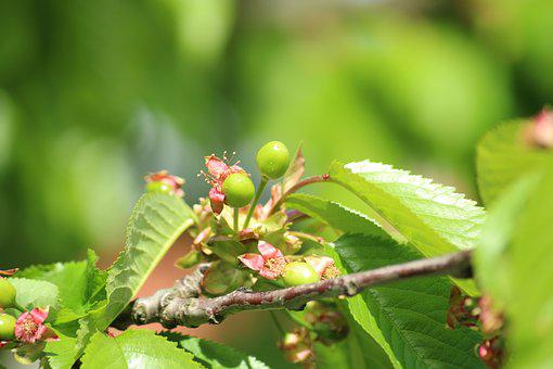 Cherries, Maturation, Green, Fruit, Spring, Sprig, Tree
